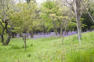 林間に咲き誇る紫の花の写真素材 [FYI00478585]