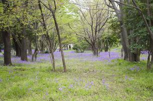 林間に咲き誇る紫の花の写真素材 [FYI00478594]