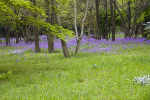 林間に咲き誇る紫の花の写真素材 [FYI00478595]