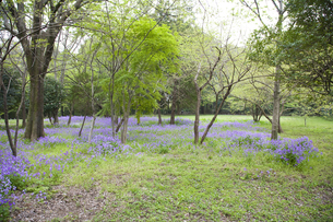 林間に咲き誇る紫の花の写真素材 [FYI00478601]