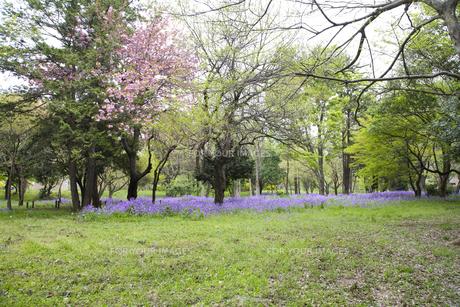 林間に咲き誇る紫の花の写真素材 [FYI00478623]