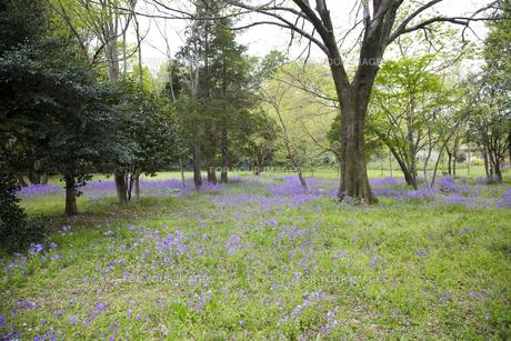 林間に咲き誇る紫の花の写真素材 [FYI00478637]