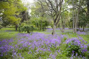 林間に咲き誇る紫の花の写真素材 [FYI00478643]