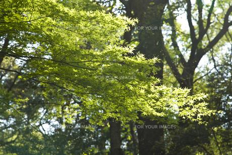 初春の紅葉の写真素材 [FYI00478913]