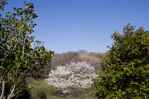 林間に咲く一本の桜の写真素材 [FYI00478982]