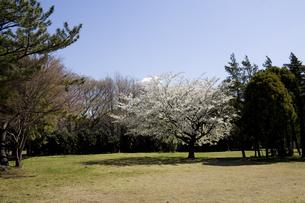 林間に咲く一本の桜の写真素材 [FYI00479002]