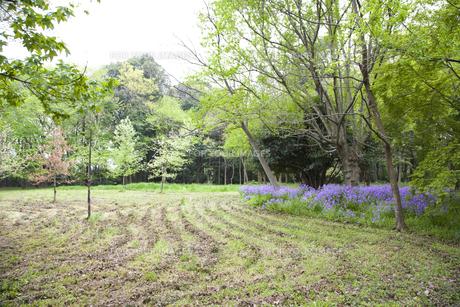林間に咲き誇る紫の花の写真素材 [FYI00479057]