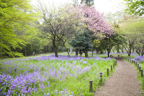 林間に咲き誇る紫の花の写真素材 [FYI00479072]