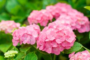 ピンク色の紫陽花の素材 [FYI00480155]