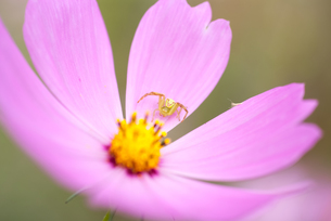 コスモスの上のハナグモの写真素材 [FYI00480179]
