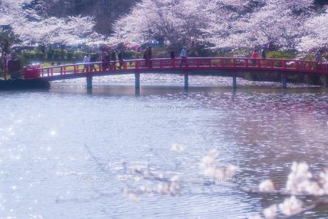 茂原公園・赤い太鼓橋と桜の素材 [FYI00480195]