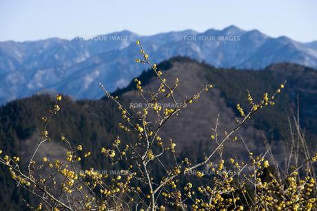 山に咲くロウバイの写真素材 [FYI00480294]