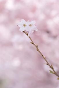 桜の枝先の写真素材 [FYI00480340]