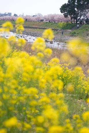 桜の咲く堤防の写真素材 [FYI00480341]
