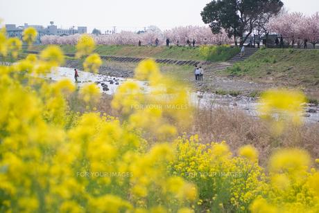 桜の咲く堤防の写真素材 [FYI00480342]
