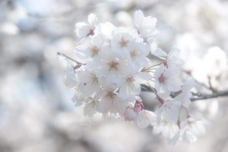 満開の桜の素材 [FYI00480360]