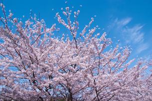 桜と青空の素材 [FYI00480361]