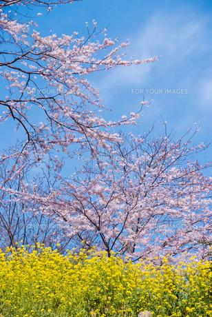 桜と菜の花の素材 [FYI00480363]