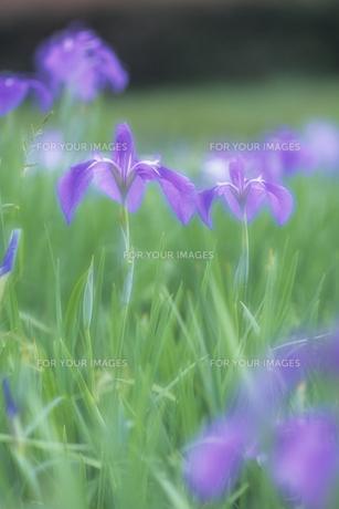 菖蒲の姉妹、Iris of sisterの写真素材 [FYI00480427]