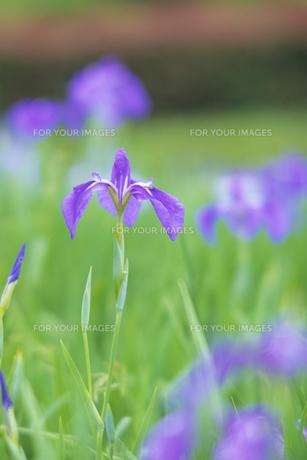 菖蒲のささやき、Whisper of irisの写真素材 [FYI00480429]