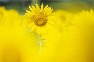 ヒマワリのかくれんぼ、Hide and Seek of sunflowerの写真素材 [FYI00480433]