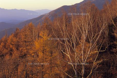 朝焼けの木々たち、Trees of the morning glowの素材 [FYI00480448]