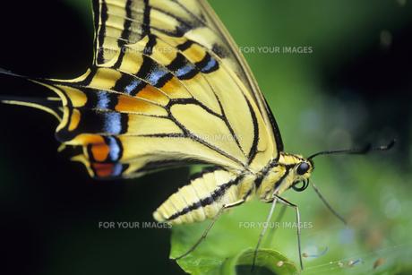 アゲハ蝶の紋様の写真素材 [FYI00480488]
