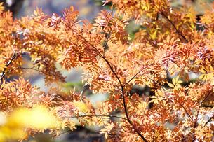 秋のナナカマドの写真素材 [FYI00480502]