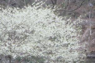 純白の桜の素材 [FYI00480510]