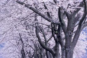 桜並木の素材 [FYI00480512]