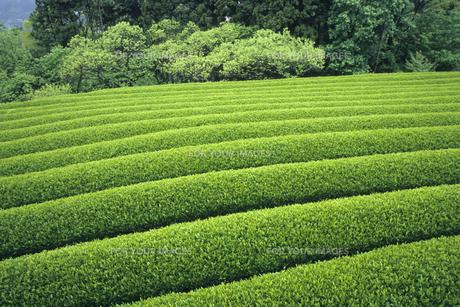 五月の茶畑の素材 [FYI00480515]