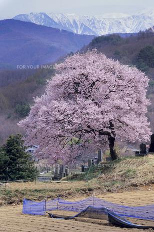 高遠の桜の写真素材 [FYI00480517]