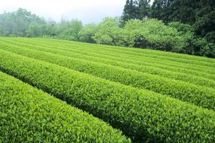 五月の茶畑の素材 [FYI00480518]