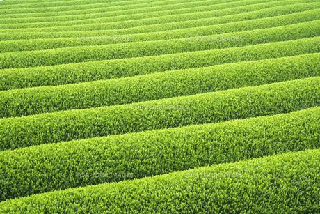 新緑の茶畑の素材 [FYI00480519]