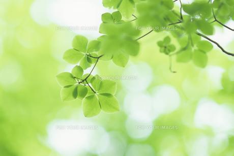 ミドリの葉たちの写真素材 [FYI00480531]