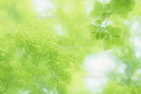 ミドリの葉たちの写真素材 [FYI00480532]