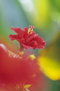 ハイビスカスの横顔、Hibiscus profileの写真素材 [FYI00480542]