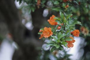 ザクロの花、Pomegranate flowersの写真素材 [FYI00480545]