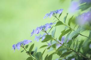 ガクアジサイの花たち、Hydrangea of flowersの写真素材 [FYI00480547]