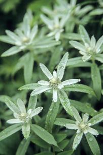 ウスユキソウの花たち、Flowers of Leontopodium discolorの写真素材 [FYI00480548]