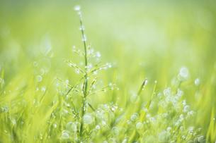 光の中のスギナ、Horsetail in the lightの素材 [FYI00480561]