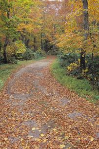 落ち葉の森の道、Road of fallen leaves of the forestの素材 [FYI00480564]