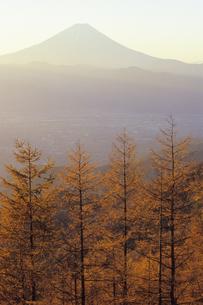 琥珀色のカラマツと富士、Larch of amber and Fujiの写真素材 [FYI00480574]