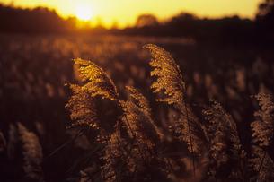 夕暮れのススキ、Dusk of pampas grassの素材 [FYI00480575]
