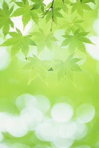 若葉のモミジ、Maple of young leavesの素材 [FYI00480604]