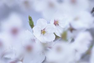かくれんぼの桜の素材 [FYI00480630]