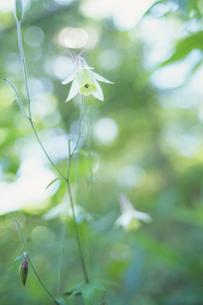 森の精(ヤマオダマキ)の写真素材 [FYI00480637]