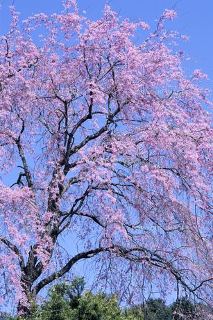 一本のしだれ桜の素材 [FYI00480660]