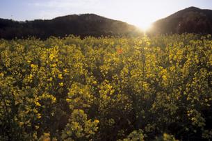 ナノハナ畑の落日の素材 [FYI00480662]