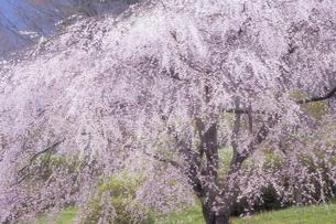 絢爛たる枝垂れ桜の素材 [FYI00480664]